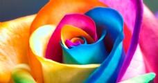 浪漫唯美七彩玫瑰