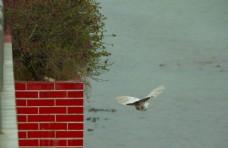 江上飞鸟 信鸽飞翔