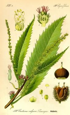 手繪植物圖譜
