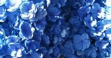 紫色绣球花