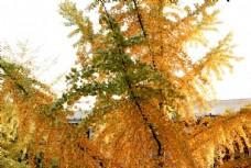 金黃的銀杏